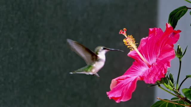 Hummingbird Hummingbird drinks nectar from hibiscus flower in slow motion hovering stock videos & royalty-free footage