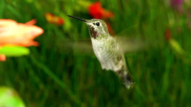 Hummingbird visits coralle fuchsia while frog calling nearby