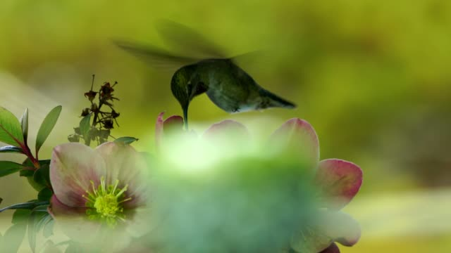 Hummingbird visits flowers and back to her nest quickly video