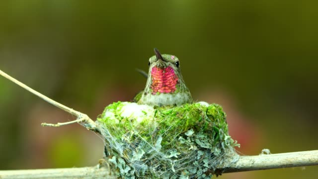 Hummingbird visits flowers before flying back to her nest video
