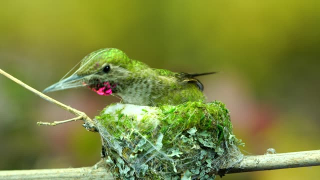 Hummingbird weaving nest exterior with spider silk while other birds chirping in background video