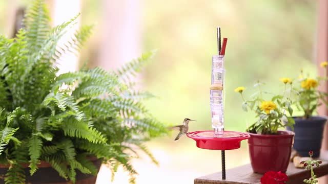 Hummingbirds at a feeder in the springtime.