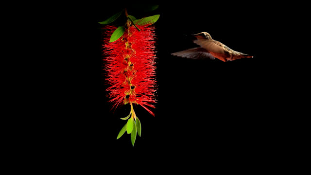 Hummingbirds Feeding Two hummingbirds feeding on a bottlebrush flower. hovering stock videos & royalty-free footage