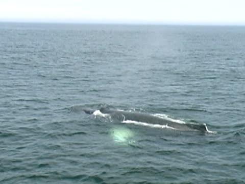 vidéos et rushes de plongée à bosse (pal - baleine