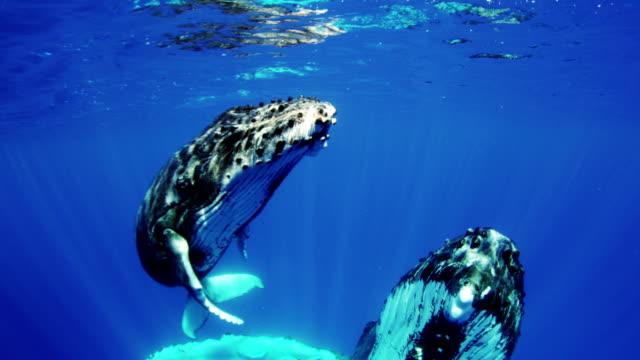 vidéos et rushes de baleine à bosse et vachette - baleine