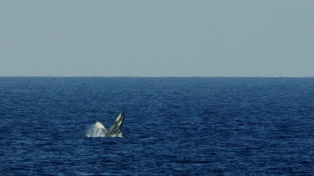 vidéos et rushes de baleine à bosse sortant de l'eau dans hawaiian waters - baleine