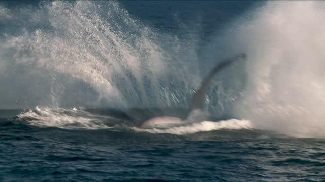 vidéos et rushes de baleine à bosse breaching au ralenti - baleine