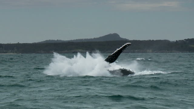 Humpback Whale Breaching, Jumping, Slow Motion video