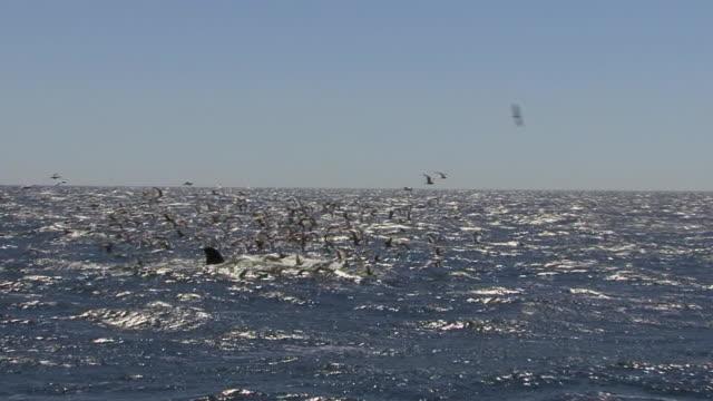 megattera nutrizione - oceano atlantico video stock e b–roll
