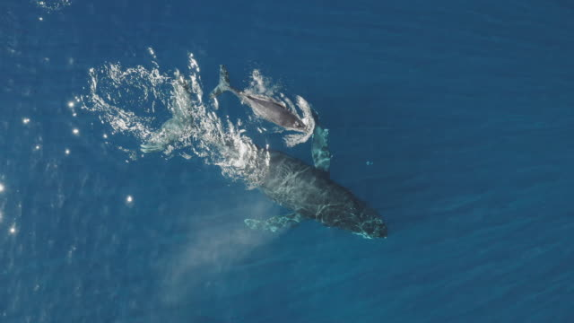 Humpback whale spouting a cloud of water with her calf video