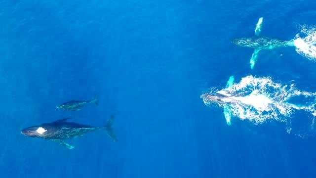 vidéos et rushes de agression de queue de baleine à bosse - baleine
