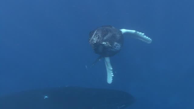 vídeos y material grabado en eventos de stock de ballena jorobada - animal joven
