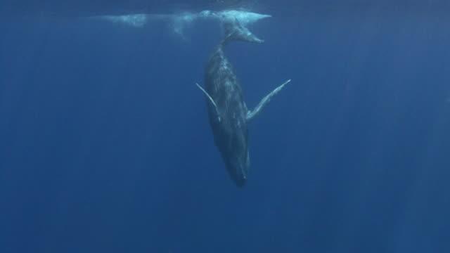 vidéos et rushes de baleine à bosse - baleine