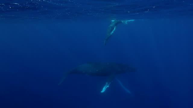 vídeos y material grabado en eventos de stock de pantera ballenas: madre y pantorrilla - animal joven