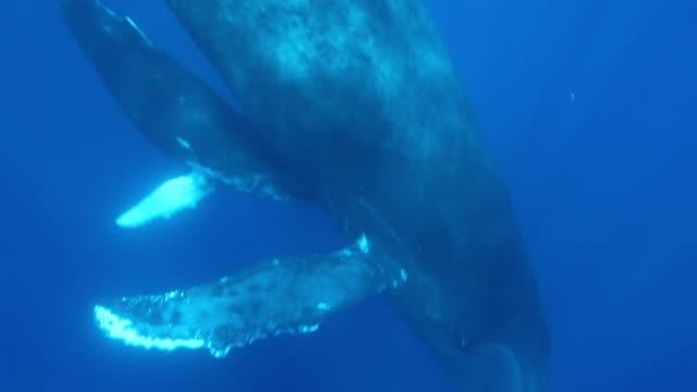 vidéos et rushes de baleines à bosse mère et baleineau près de caméramans de plongeur dans l'eau bleu de l'océan. - baleine