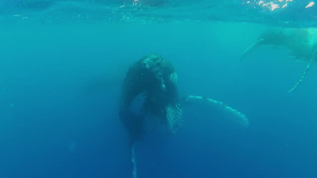 Humpback Whales swimming  at the surface video