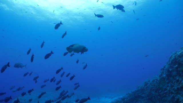 vídeos y material grabado en eventos de stock de pez napoleón en el arrecife de coral de mar, palau - micronesia