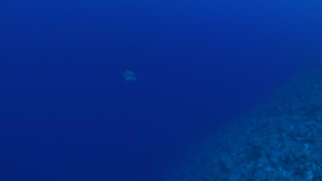 vídeos y material grabado en eventos de stock de pez napoleón (napoleonfish) en el arrecife de coral - zona pelágica