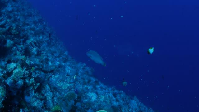 vídeos y material grabado en eventos de stock de pez napoleón (pez napoleón) submarinos, palau - sea life park