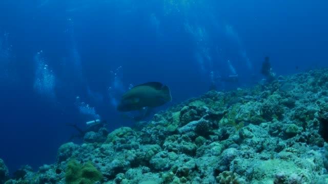 vídeos y material grabado en eventos de stock de pez napoleón (pez napoleón), arrecifes submarinos, palau - sea life park