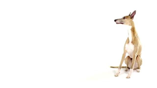 Hund Hund sitzt und läuft weg hound stock videos & royalty-free footage
