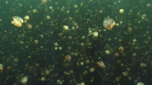 Hundreds of Jellyfish in famous Jellyfish lake, Palau video