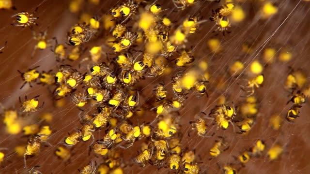 hundratals bara född gul baby spindlar - spindel arachnid bildbanksvideor och videomaterial från bakom kulisserna