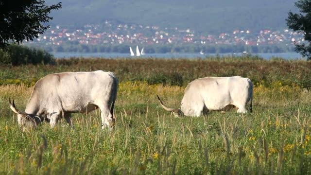 ハンガリー産牛 - 灰色点の映像素材/bロール