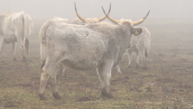 ハンガリー灰色の冬の牛 - 灰色点の映像素材/bロール