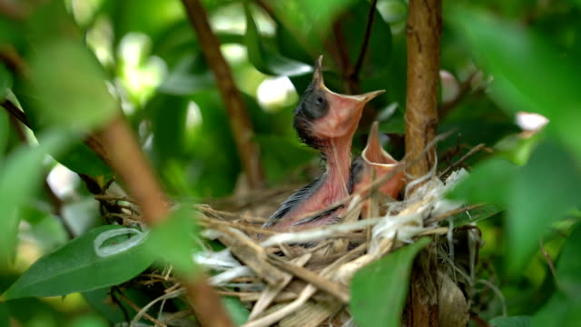 slo mo hungry baby birds in nest. - młody ptak filmów i materiałów b-roll