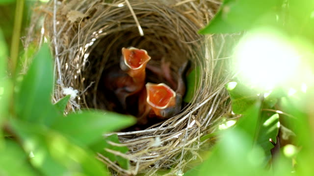 SLO MO Hungry baby birds in nest.