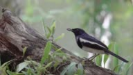 istock Hungry bird in black and white plumage,4K video. 1085322530