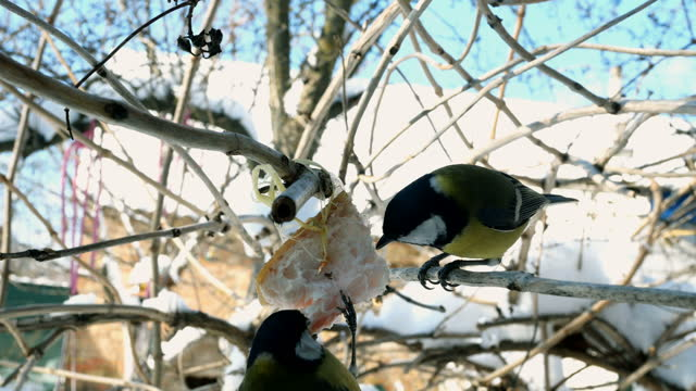 Hungry birds, Great tit or parus major, are pecking lard which hangs from branch.
