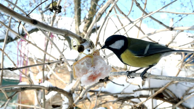 Hungry birds, Great tit or parus major, are pecking lard which hangs from branch in garden or backyard.