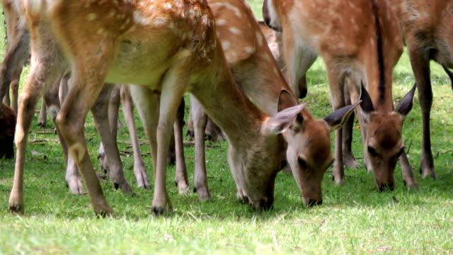 hungry deer eating grass - benekli geyik stok videoları ve detay görüntü çekimi
