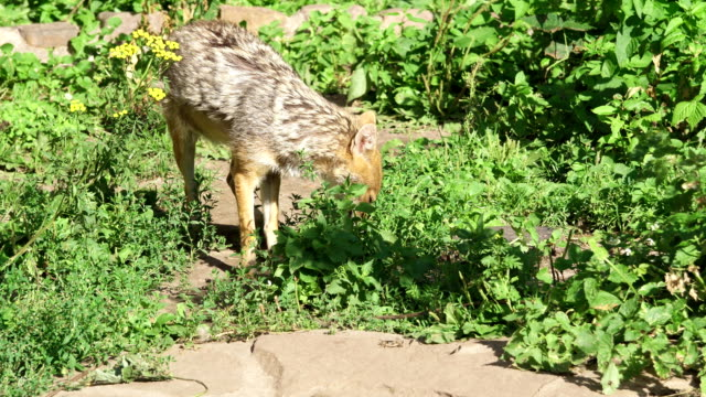 Hungry golden jackal sniffing bushes in forest. Canis aureus golden wolf hunting in national park video