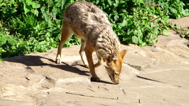 Hungry golden jackal sniffing ground in forest. Canis aureus golden wolf hunting in national park video