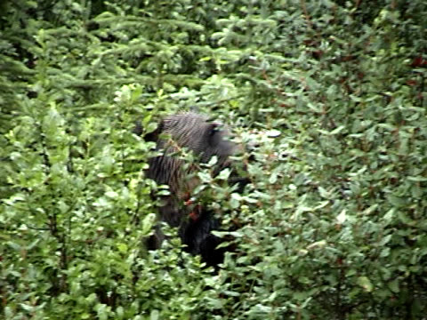 Hungry Grizzly Grizzly bear that stands while feeding on berries. scavenging stock videos & royalty-free footage