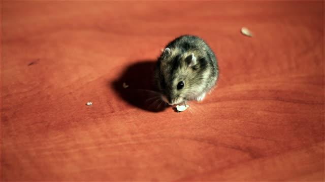 Hamster hambriento come semillas de girasol en mesa - vídeo
