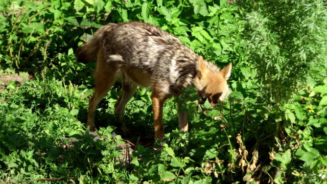 Hungry jackal sniffing bushes in forest. Two golden wolves hunting in national park in wild nature video