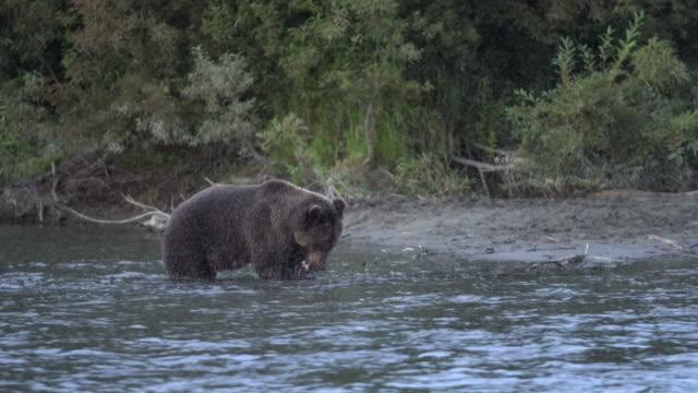 空腹カムチャツカヒグマ(ウルサスアークトスピスカトル)水に立って、赤いサーモンの魚を釣る - シベリア点の映像素材/bロール