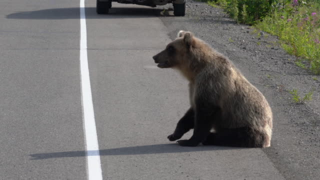 Hungry Kamchatka wild brown bear walking on road and begs food from people