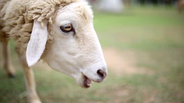 Hungry sheep in the farm, livelihood of white sheep