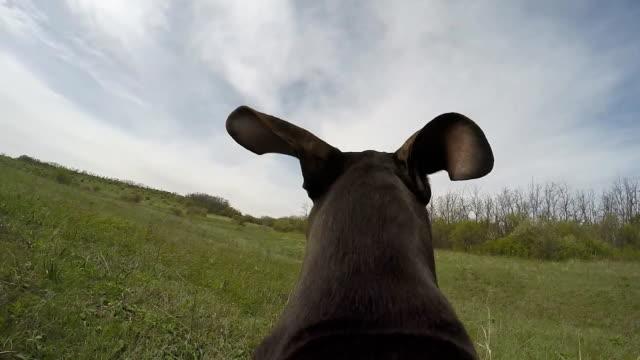 vidéos et rushes de chasseur avec chien de course caméra sur l'arrière. - course poursuite