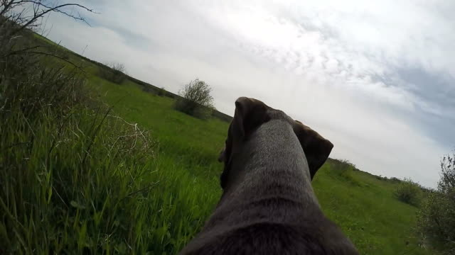 Hunter dog running with camera on the back. Hunter dog running with camera on the back. Slow motion. setter dog stock videos & royalty-free footage