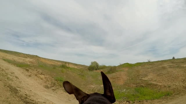 Hunter dog running with camera on the back. video