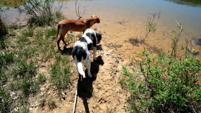 jakthundar sniffar spåren nära lake water - hunddjur bildbanksvideor och videomaterial från bakom kulisserna