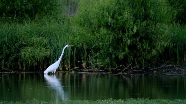 Hunting Egret Hunting Egret marsh stock videos & royalty-free footage