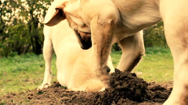per cani da caccia - foro video stock e b–roll