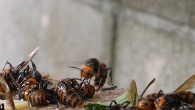 jagd auf hornissen mit rattenkleber. kleben hornissen - hornisse stock-videos und b-roll-filmmaterial